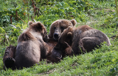 Bear-5329