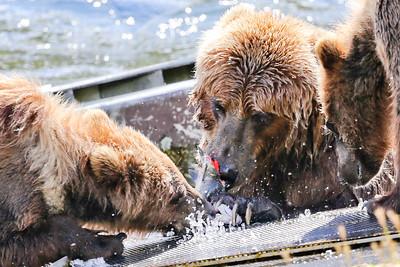 Bear-4991