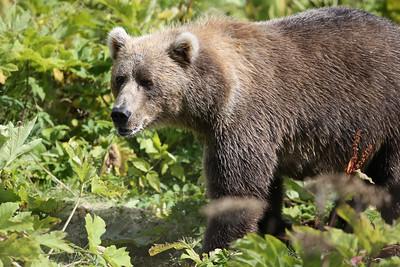 Bear-4902