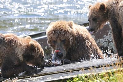 Bear-4987