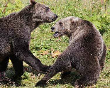 Bear-5229