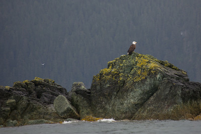 Juneau Alaska Bald Eagle