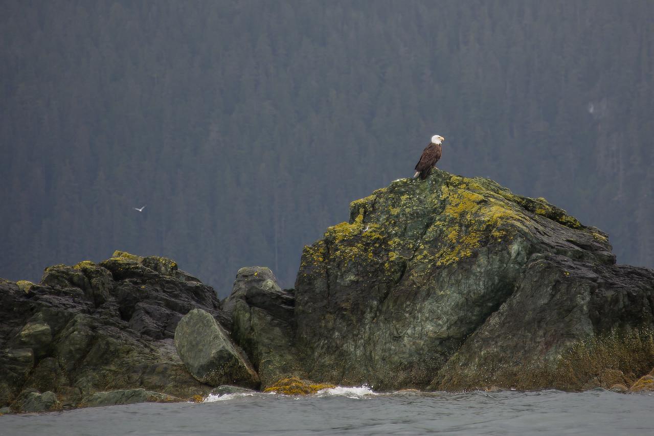 Juneau Alaska Bald Eagle
