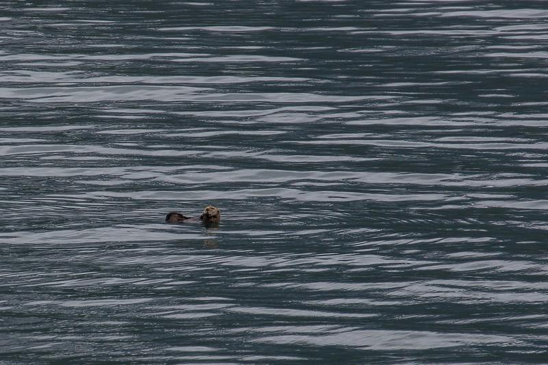 Prince William Sound Sea Otter