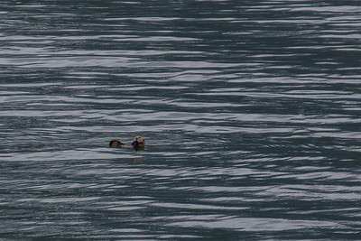 Prince William Sound Sea Otter