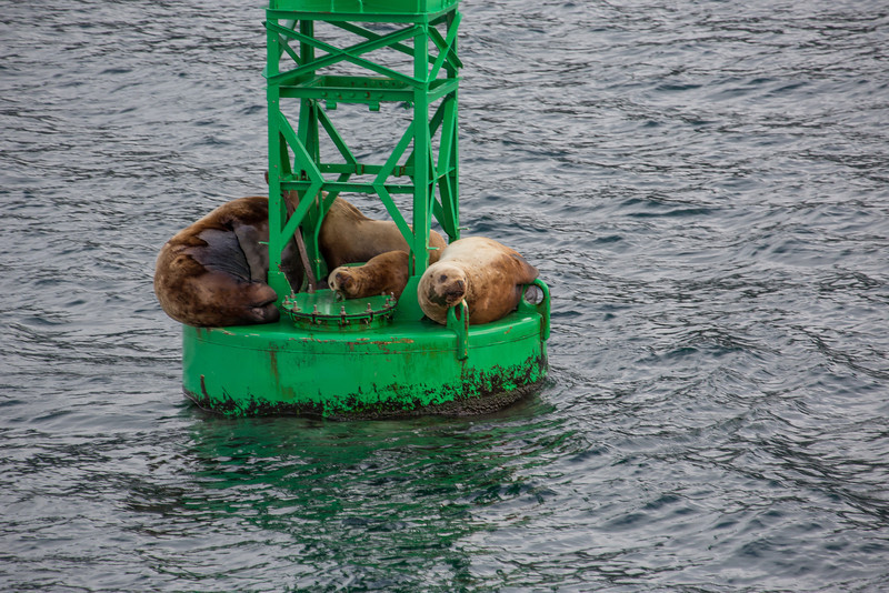 Prince William Sound Stellar Sealions