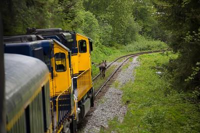 Train chasing a moose