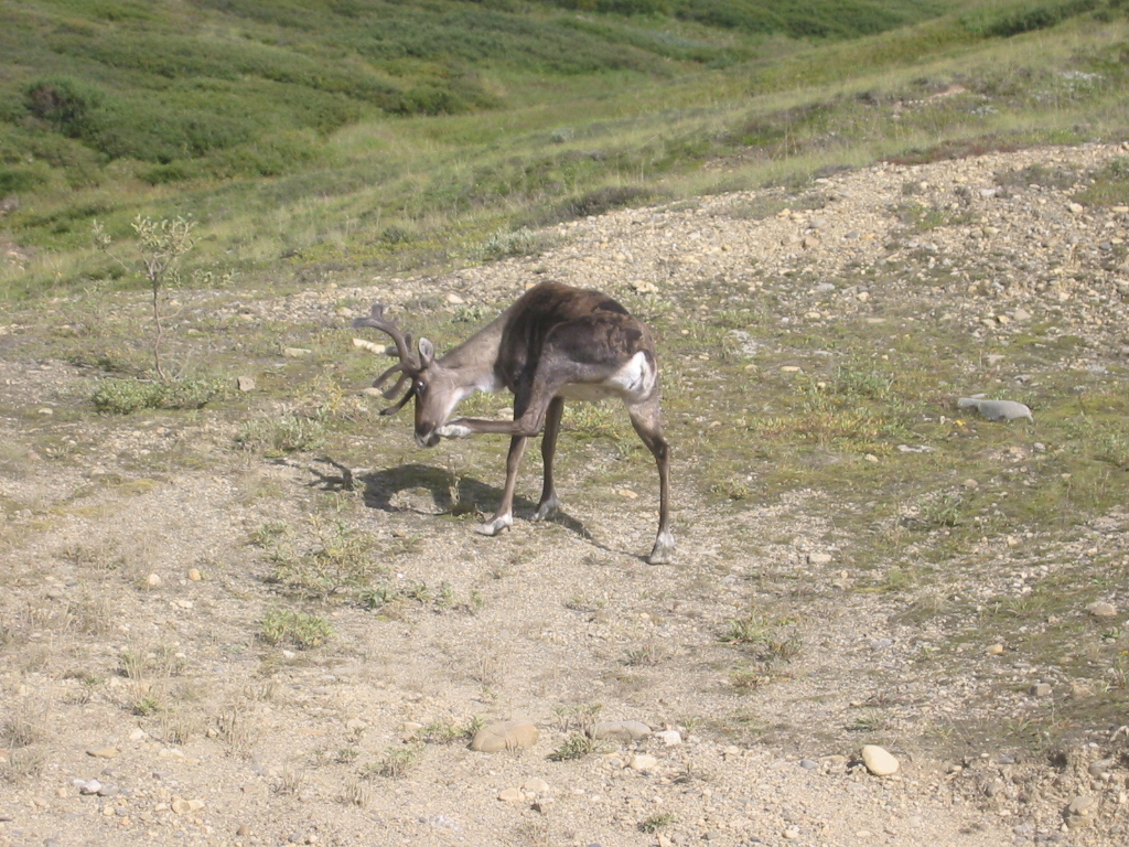 An itchy caribou.