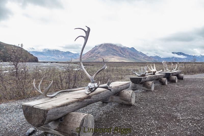 Caribou antlers.