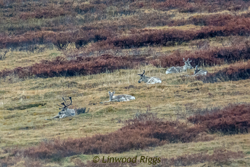 Five caribou. We didn't see any large herds.