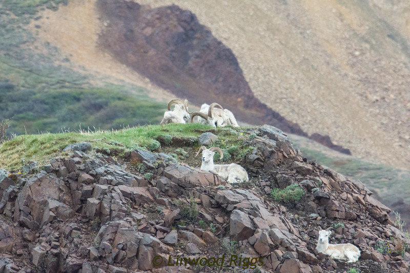 Dall sheep.  Did you know that Denali NP was established primarily as a refuge to protect this (then) endangered species?  I didn't.