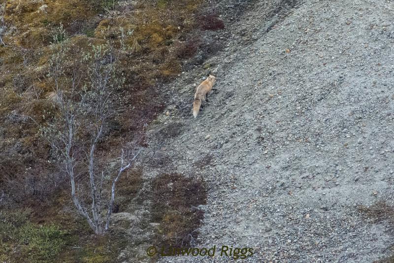 A red fox runs up an embankment.