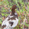 This is a Ptarmigan - Alaska's state bird.