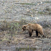 Seeing a grizzly bear in Denali isn't absolutely guaranteed, but on our two excursions into the park, we had numerous sightings.