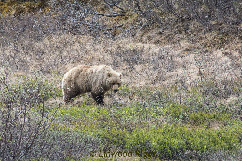 All the bears in this album are grizzlies (no black bears), so I haven't labeled them all!