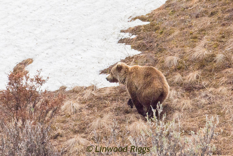 A grizzly bear forages for food in Denali National Park..