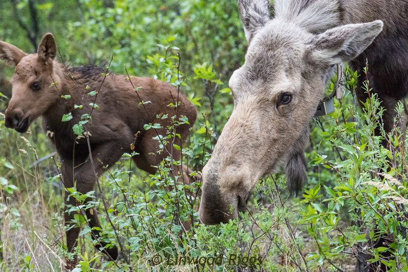 Some wag said that moose are horses that were designed by a committee; not exactly a handsome beasts, are they?