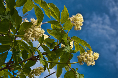 This looks to be an Elderberry bush from pictures I've seen. It grows wild in Alaska.