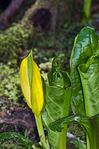 This is a Skunk Cabbage in bloom. Skunk cabbages use their own energy to melt snow and this lets the flower appear through the snow in the spring.