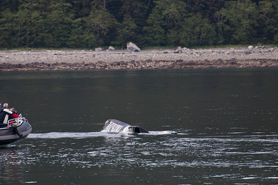 A smaller whale watching boat gets really close to a whale as he dives and the tail comes up.