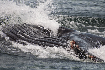 A humpback whale surfacing to eat.  The whales eye is visible in the middle of the photo and the bottom of his mouth area is the ribbed area to the left.
