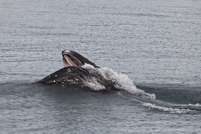 The baleen of this whale is visible as he feeds.