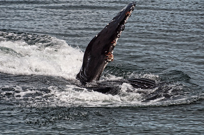 A flipper on this humpback is covered with barnacles.