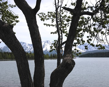 Cotton Wood Trees - Kenai Lake - Cooper Landing - Kenai Peninsula - Alaska - USA