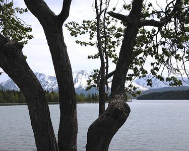 Cotton Wood Trees - Kenai Lake - Cooper Landing - Kenai Peninsula - Alaska - USA