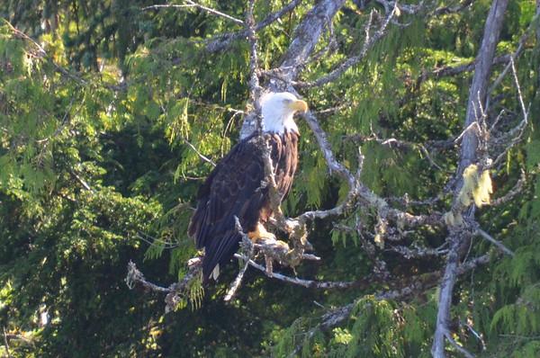 Ketchikan, Alaska - Eagles, Totems