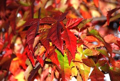 Autumn Photos - Maple Leaves - Big Lake - Alaska - USA