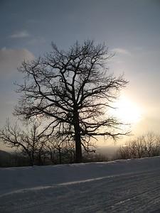 Knarled Cotton Wood Tree - Arctic Valley - Anchorage - Alaska - USA