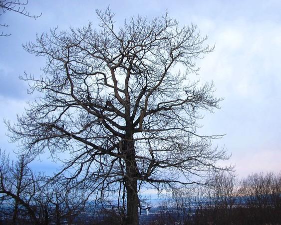 Cottonwood Tree - Arctic Valley - Anchorage - Alaska - USA