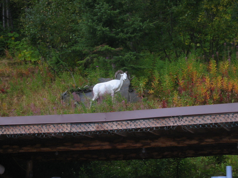 Not a real Dall sheep, but a better photo than the specks on the mountain at Denali.