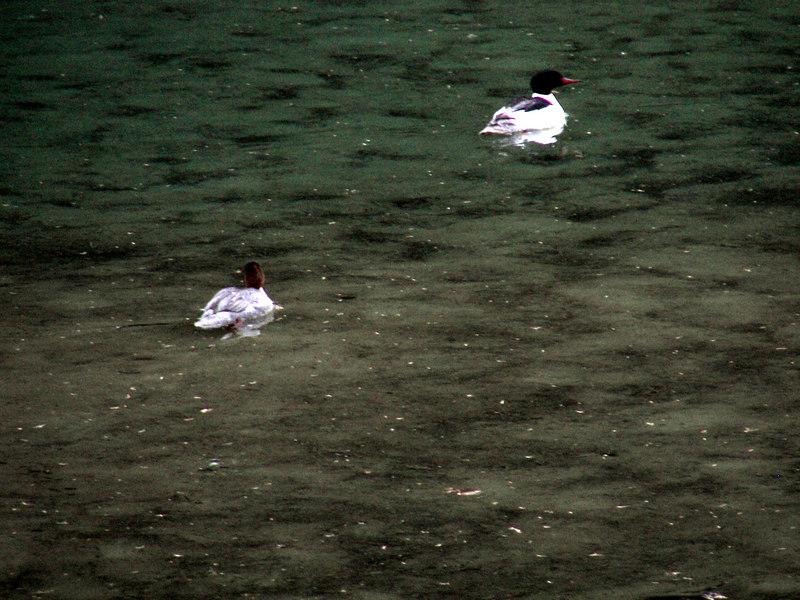 Ducks at Fish Creek.