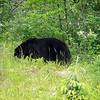 Black bear eating plants and berries. No fish available yet.
