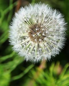 Dandelion - Gone to Seed - Floral - Wildflower - Anchorage - Alaska - USA