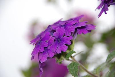 Purple - Flower - Kenai - Kenai Peninsula - Alaska - USA