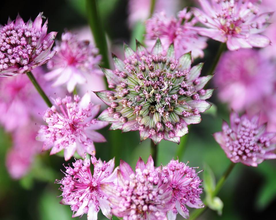 Flower - Floral - Pink - Palmer - Alaska - USA