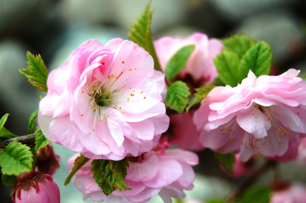 Rose Tree of China - Pink - Flower- Bush - Anchorage - Alaska - USA