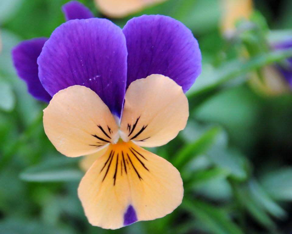 Johnny Jump Up - Floral - Anchorage - Alaska - USA