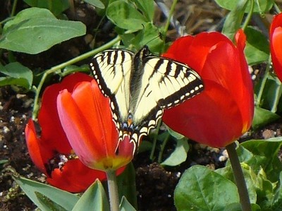 Tulip - Red - Flower - Butterfly - Anchorage - Alaska - USA