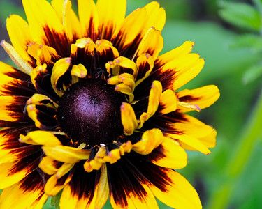 Brown Eyed Susan - Flower - Floral - Anchorage - Alaska