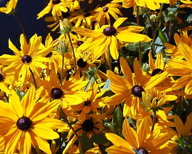 Black Eyed Susan - Yellow - Flower - Anchorage - Alaska - USA
