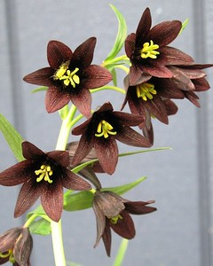 Lily - Flower - Floral - Chocolate - Brown- Wildflower - Anchorage - Alaska - USA