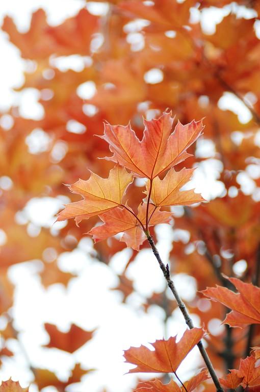 Maple in Spring - Tree - Anchorage - Alaska - USA