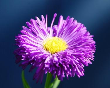 Straw Flower - Purple - Flower - Anchorage - Alaska - USA
