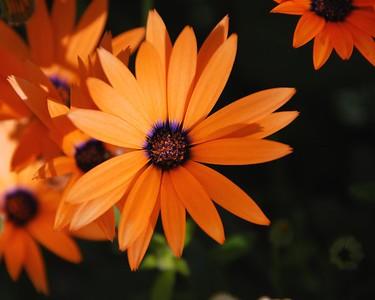 Daisy - Orange - Flower - Kenai - Kenai Peninsula - Alaska - USA