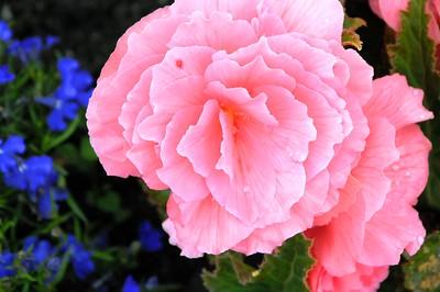 Begonia - Flower - Florals - Anchorage - Alaska - USA