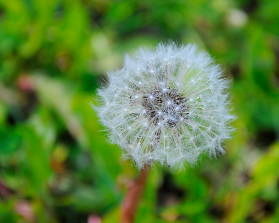 Dandelion - Gone to Seed - Floral - Wildflower - Anchorage - Alaska - USA